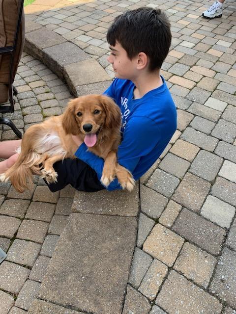 golden cavalier puppy Cali