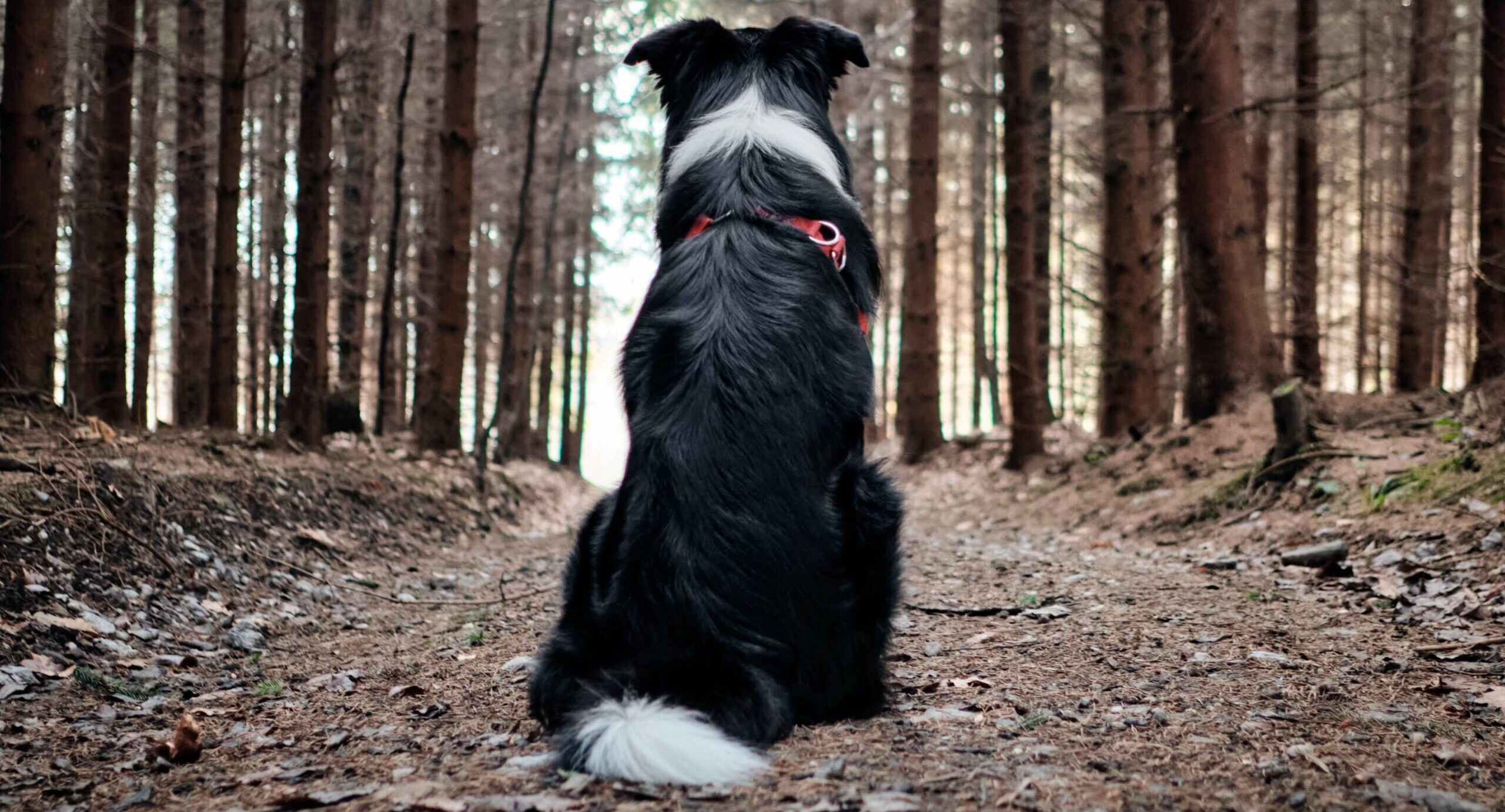 Golden Cavaliers- Fuel The Love Of Trails With Your Active Dog - Gear Recommendations (1)