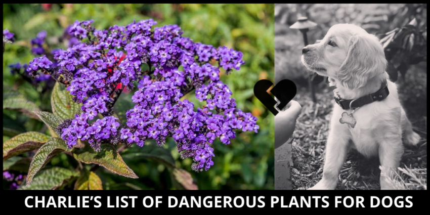 PLANTS TOXIC TO DOGS GOLDEN CAVALIERS