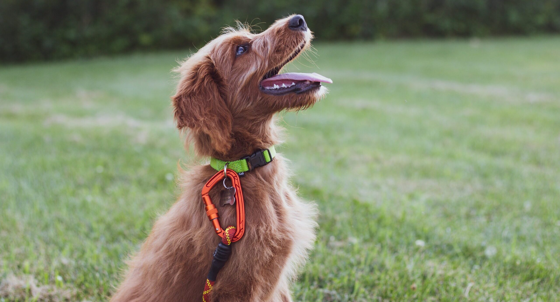 puppy training Dog Behaviorist tips